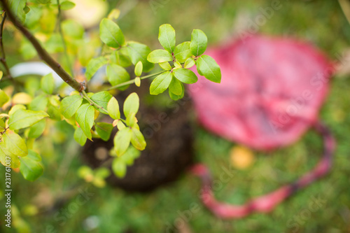 Baum auf Plazenta pflanzen