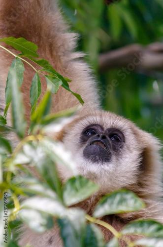 Foto op Plexiglas Aap fluffy monkey face looking up