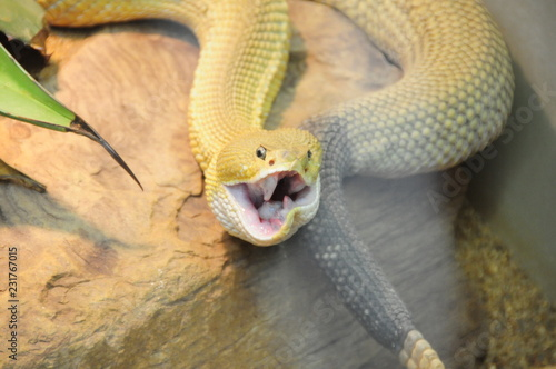 green snake with open mouth ready to bite
