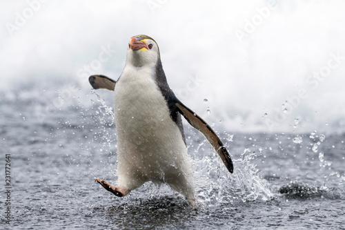 Poster Cygne Royal Penguin (Eudyptes Schlegeli) on Macquarie Islands, Australia
