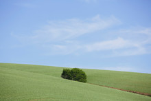 Lone Tree In Field Of Freshly Planted Summer Wheat