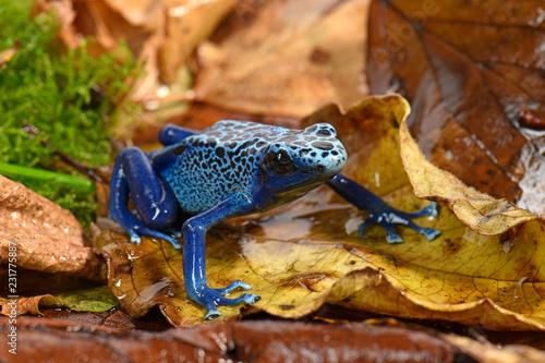 Blauer Baumsteiger (Dendrobates tinctorius azureus) - Blue poison dart frog