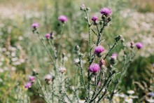 Purple Thistle Flowers