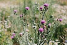 Purple Thistle Flowers