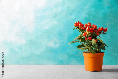 Keuken foto achterwand Aromatische Potted chili pepper plant on table. Space for text
