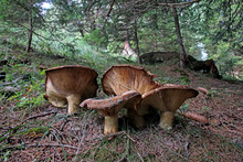 Grandi Funghi A Imbuto Tra Gli Abeti
