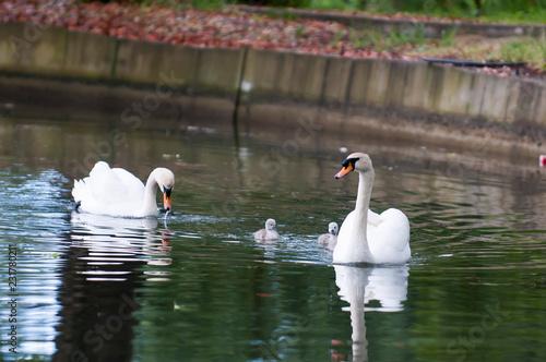 Deurstickers Zwaan A beautiful white Swan with her offspring swim in the pond.