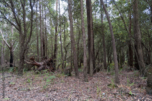 Australian eucalyptus forest with