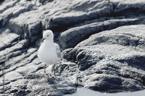 Fotografering  The black-billed gull, also known as Buller's gull, or tarapuka is a species of gull in the family Laridae