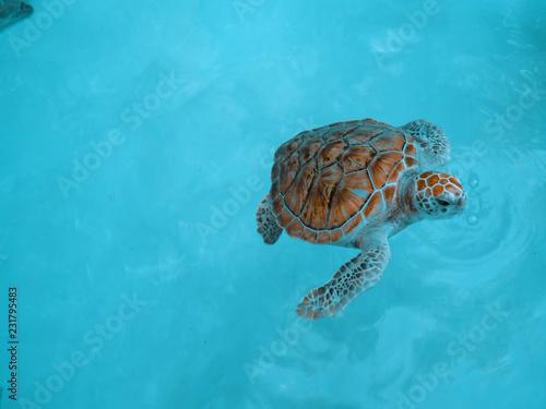 Foto op Aluminium Schildpad sea turtle . sea turtle on coral reef