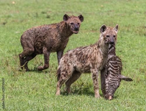 Foto op Aluminium Hyena hyenas eating zebra