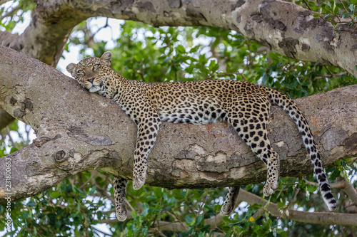 sleeping leopard Wallpaper Mural