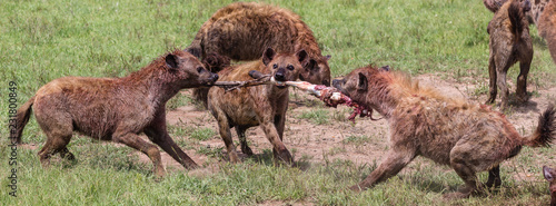 Staande foto Hyena hyenas fighting over zebra leg