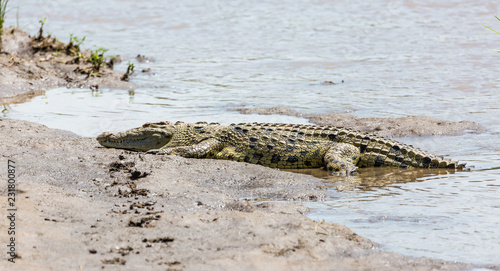 Deurstickers Krokodil Crocodile in water