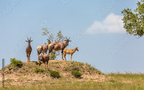 Foto op Canvas Antilope Antelopes in Africa