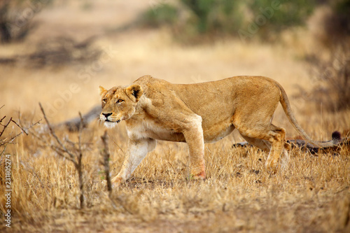 Staande foto Leeuw The Southern lion (Panthera leo melanochaita) also the East-Southern African lion or Eastern-Southern African lion or Panthera leo kruegeri. The lioness saw the prey.