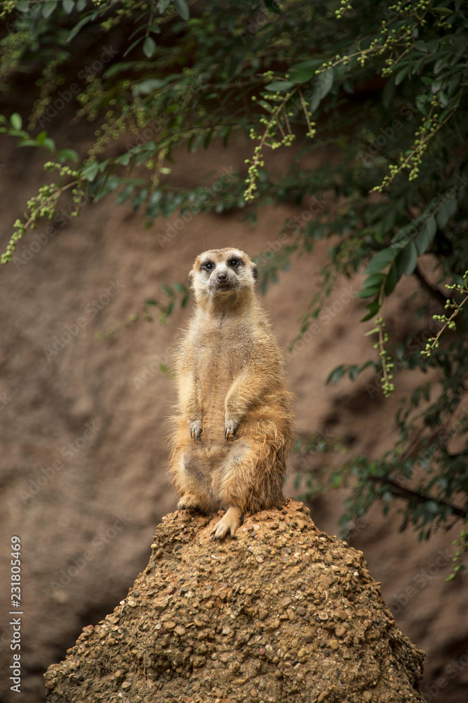 Photo & Art Print Meercat of Africa keeping watch for danger