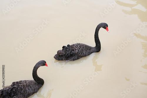 Keuken foto achterwand Zwaan Black swans floating in pond.