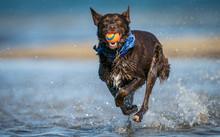 Running Red Dog