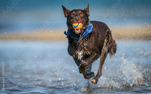 Running Red Dog Fototapet