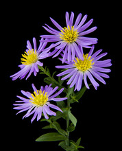 Alpine Aster Isolated On Black...