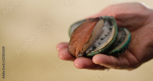 Canvas Print Two Australian farmed Tiger abalone being gently handled.