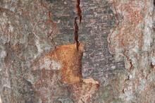 Bark Of Zelkova Serrata (Japanese Zelkova, Japanese Elm Or Keyaki) - Botanical Wallpaper
