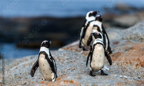 Foto op Canvas Pinguin African penguins on the rock coast at sunset twilight. African penguin ( Spheniscus demersus) also known as the jackass penguin and black-footed penguin. Boulders colony. Cape Town. South Africa