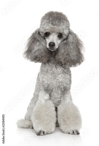 Tableau sur Toile Young groomed poodle