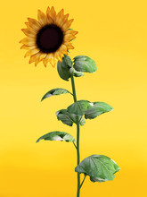 3D Rendering Of A Beautiful Sunflower.
