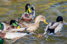 Wild Ducks Swim Around The Pond In The Park