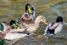 Wild Ducks Swim Around The Pon...