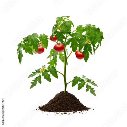 Poster Vegetal Tomato plant with soil isolated on white background