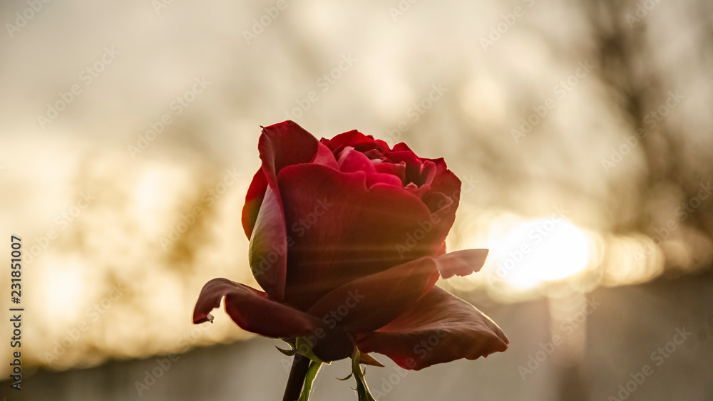Fototapety, obrazy: Red rose in the autumn garden.