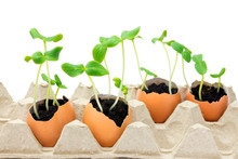 A Photo Of Blossoming Cucumber Seedling, Small Sprouts In The Egg Shell With Soil Isolated On White Background. Growing Sprout Is A Beginning Of New Life. Seed Germination. Selective Soft Focus.