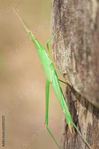 Fotografía  Japón viaje saltamontes insecto verde