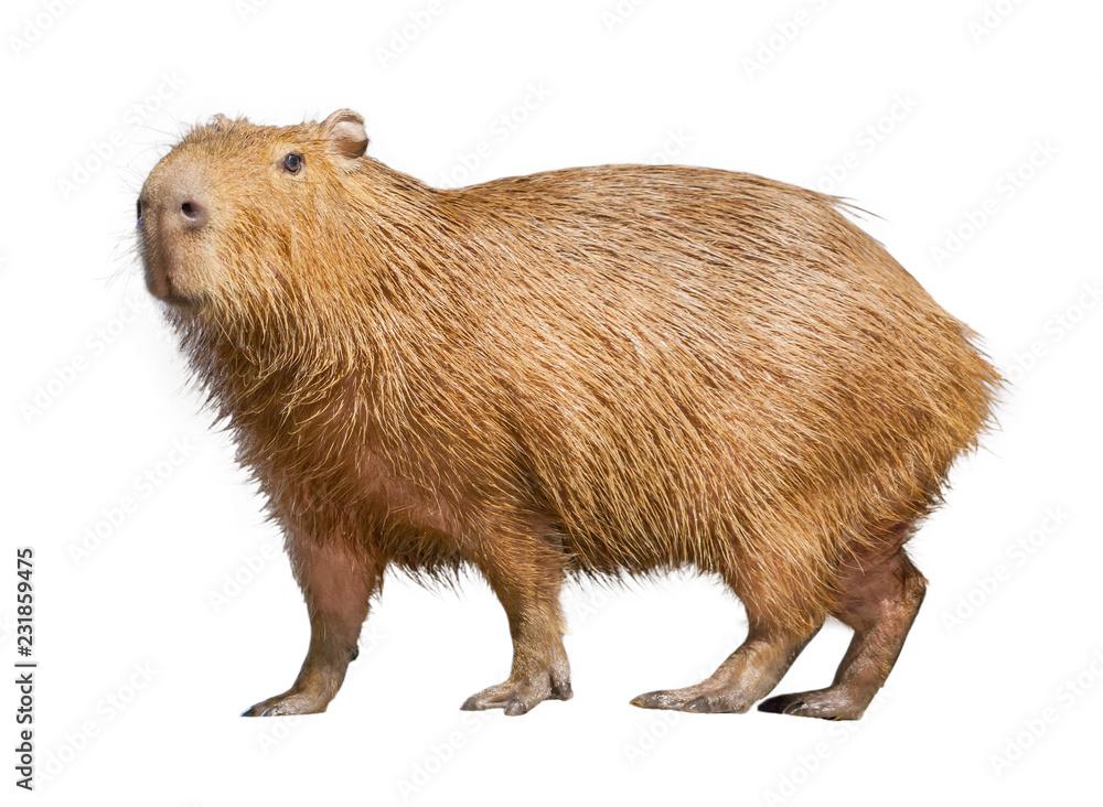 Fototapety, obrazy: Capybara isolated on white background
