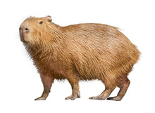 Capybara Isolated On White Bac...