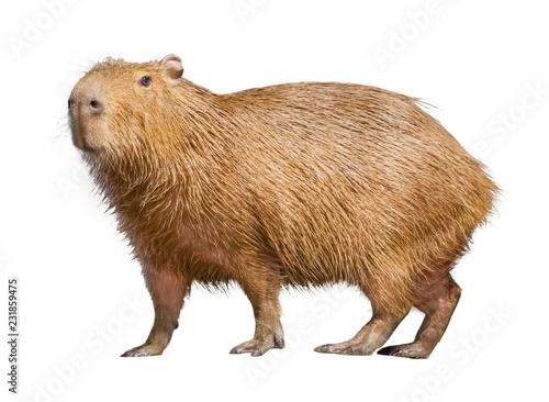 Photo  Capybara isolated on white background