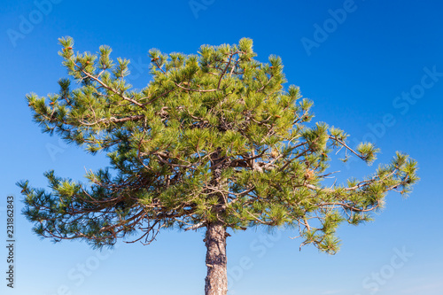 Young pine tree over blue sky background