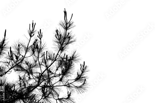 Pine tree branches silhouette