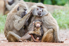 Mother Baboon Nursing Her Baby On The Edge Of The Ngorongoro Crater In Tanzania
