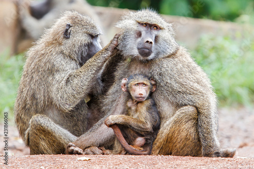 Photo Mother Baboon nursing her baby on the edge of the Ngorongoro Crater in Tanzania