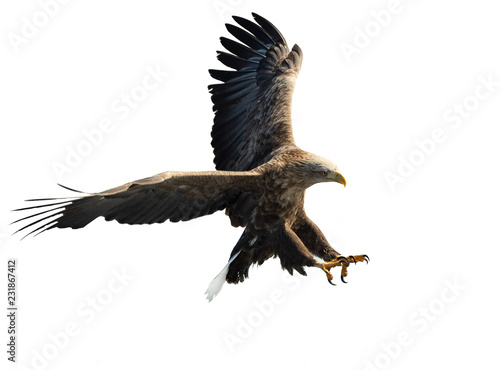 Fond de hotte en verre imprimé Aigle Adult White-tailed eagle in flight. Isolated on White background. Scientific name: Haliaeetus albicilla, also known as the ern, erne, gray eagle, Eurasian sea eagle and white-tailed sea-eagle.