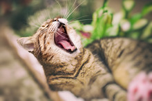 Adult Cat After Break Yawning