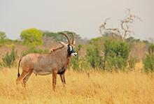 Close Up Of A Large Adult Male Roan Antelope - Hippotragus Equinus - Standing Looking While On The Dry Yellow Plains Of Hwange National Park
