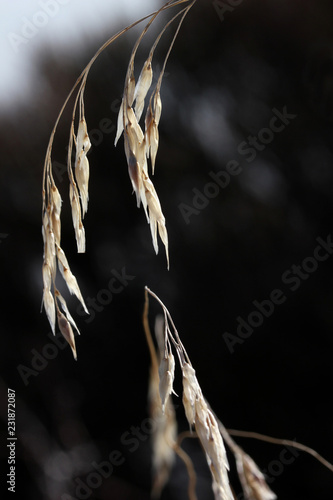 Fotografía  Wild Oat (Avena fatua/sterilis)