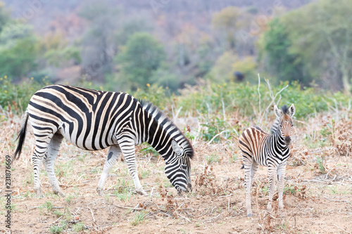 Plains zebra (Equus quagga) juvenile with mother, Kruger National Park, South Africa