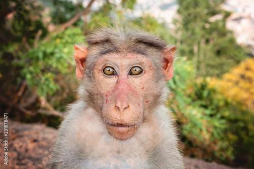 In de dag Rhesus Macaque little monkey at Arunachala mountain in Tiruvannamalai, Tamil Nadu, India