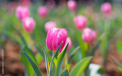 Spoed Foto op Canvas Tulp Beautiful pink tulip in the garden on green tree tulips background,